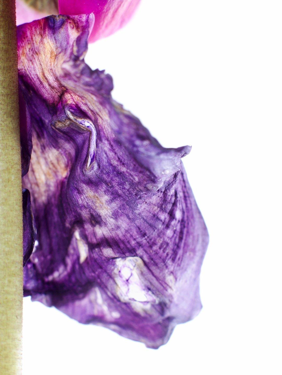Imperfect Cyclamen Flower